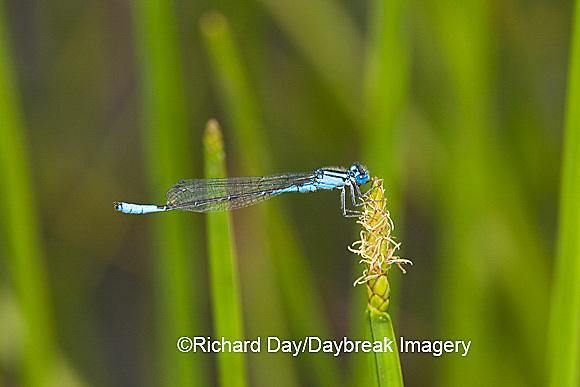 06101-001.06 Azure Bluet (Enallagma aspersum) male in wetland, Marion Co.  IL