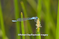 06101-001.06 Azure Bluet (Enallagma aspersum) male in wetland, Marion Co.  IL