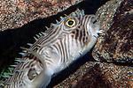 Striped Burrfish resting on ledge close-up