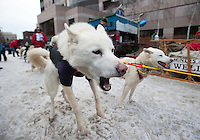 Dogs pull at their harnesses as they wait to run at the ceremonial start of the 43rd Iditarod dog sled race in downtown Anchorage. 79 mushers made their way 11 miles through the slushy streets of Anchorage in unseasonably warm weather and early rain. This year's official re-start will begin in Fairbanks because of poor trail conditions in Southcentral Alaska.