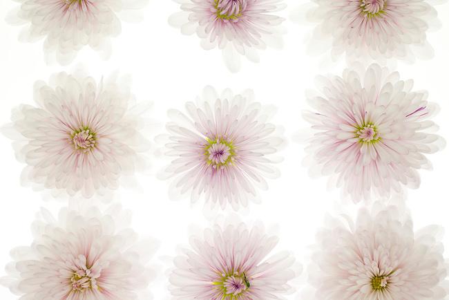 Repeating chrysanthimums