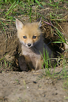 Red Fox kit exiting its den