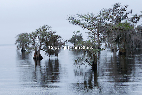 Cypress trees at dawn, Blue Cypress Conservation Area, Florida
