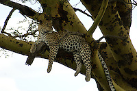 A leopard uses a convenient tree to look around the open spaces of the Serengeti National Park, Tanzania.