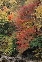 autumn; fall; Wissahickon; Creek Park; Philadelphia; Black Gum; Nyssa; sylvatica; color; red;