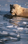 Polar bear swimming in icy water