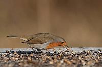 Rotkehlchen, an der Vogelfütterung, Fütterung im Winter, frisst Körner am Boden, Winterfütterung, Erithacus rubecula, robin