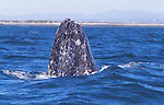 gray whale spy-hopping at Laguna San Ignacio