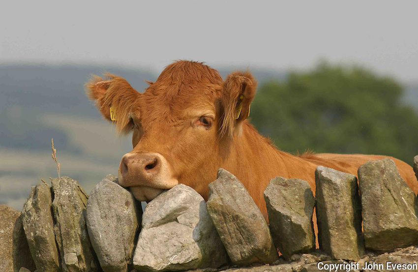 Pedigree Limousin beef heifer looking over a stone wall, Co Durham.