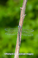 06370-001.12 Swamp Darner (Epiaeschna heros) male perched on branch, Clay Co.  IL