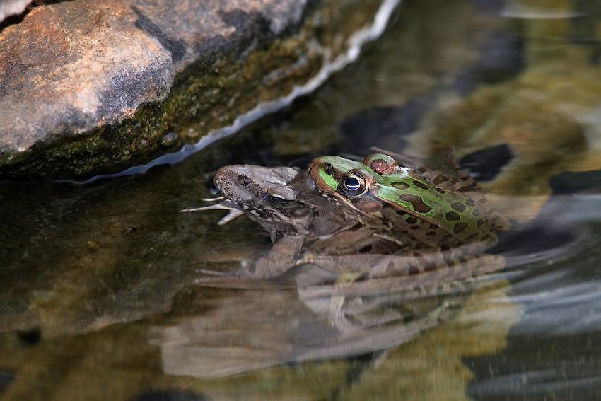 The Leopard Frog survived the snake attack to see another sunset..Life is good :)<br />