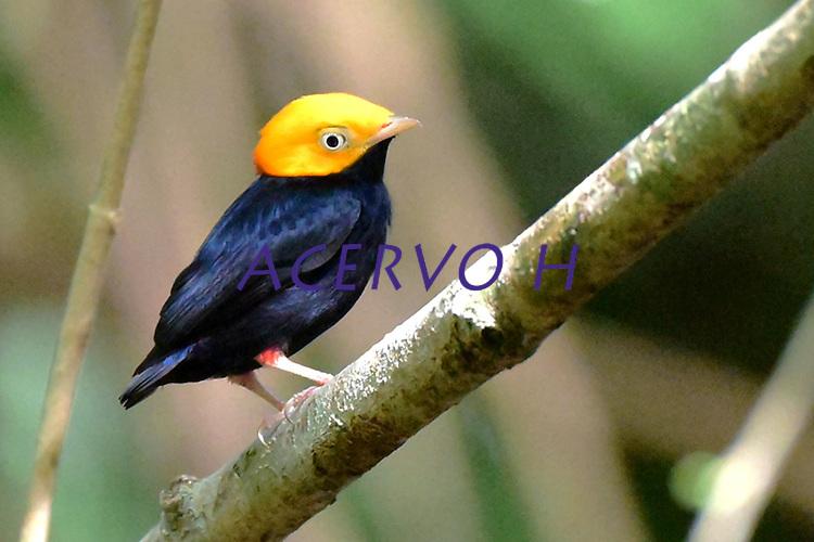 Cabeça de ouro<br /> Aves da Amazônia.<br /> Roraima, Brasil.<br /> Foto Jorge Macedo
