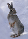 Silly Wabbit<br /> Love the expression on this mountain cottontail near our house here in Coal Creek Canyon, Colorado