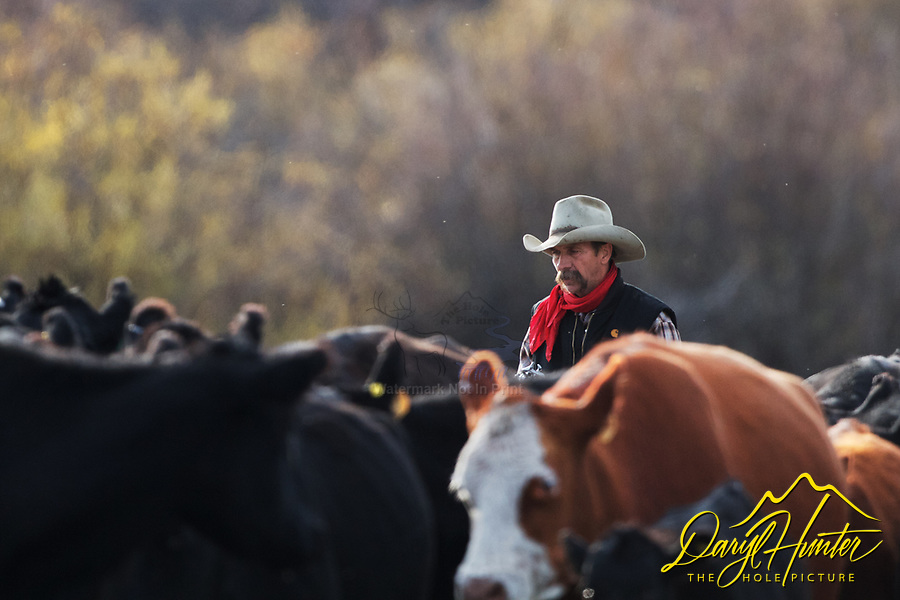 Rancher Slim Clark driving his cows back to the ranch. Cattle Drive, Alpine Wyoming.<br /> <br /> None of my western images to be used for for anti-grazing purposes.