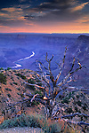 Sunrise light on barren tree, looking towards Colorado River, Desert View Grand Canyon Nat. Pk., ARIZONA