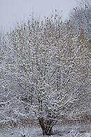 Gewöhnliche Hasel, Haselnuß, Haselnuss, Männliche Blüten, Kätzchen, Blütenkätzchen, im Schnee, Corylus avellana, Cob, Hazel, snow, Coudrier, Noisetier commun