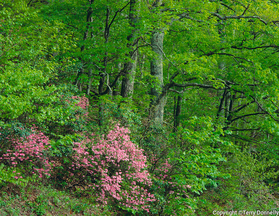 Shenandoah National Park, VA<br /> Pink azaleas (Rhododenderon nudiflorum) in an understory of a spring hardwood forest