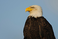 Portrait of adult Bald Eagle (Haliaeetus leucocephalus). Gray's Harbor county, Washington. March.