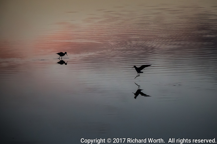 Black-necked stilts, one feeding while another comes in for a landing, in silhouette at sunset where San Lorenzo Creek flows into San Francisco Bay.