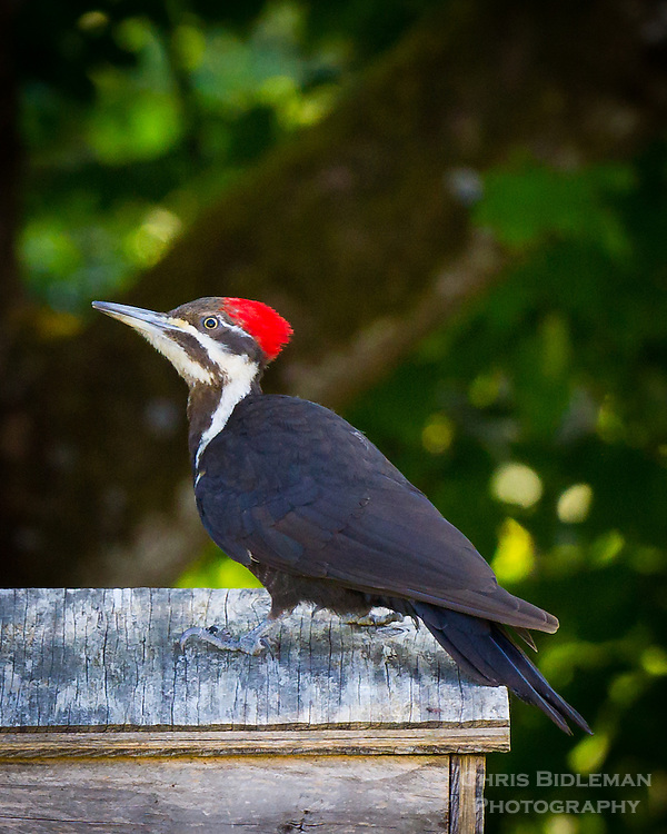 A female pileated woodpecker (Dryocopus pileatus) in standing on top of a birdhouse with a bright red crest on her head in Spring time with maple trees in background.
