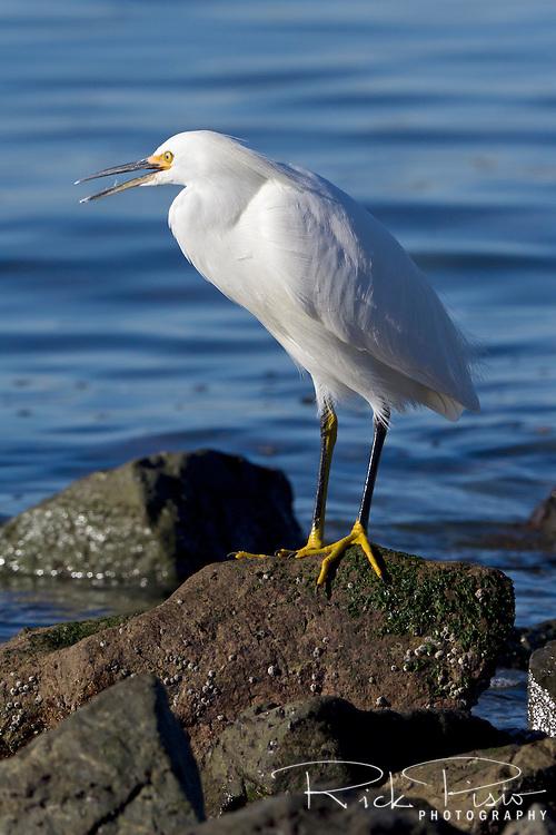 Snowy Egret (egretta thula) along the San Francisco Bay shoreline. The snowy egret is in the heron family.