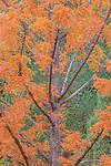 Metasequoia glyptostroboides, the dawn redwood, native to China