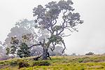 Koa (Acacia koa), Hawai&rsquo;i, USA<br /> <br /> Canon EOS 5DS R, EF100-400mm f/4.5-5.6L IS II USM lens, f/10 for 1/20 second, ISO 160