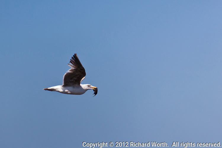 A gull flies by with a rodent in its bill at a California State Park.  Pigeon Point Lightstation State Historic Park.
