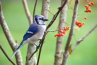 Bluejay on branch with red berries