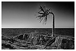 Lone palm tree with wind damage.