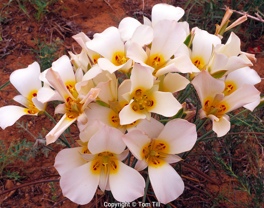 Sego Lily Blooms  Zion National Park, Utah  Utah State Flower  Calochortus nuttalli