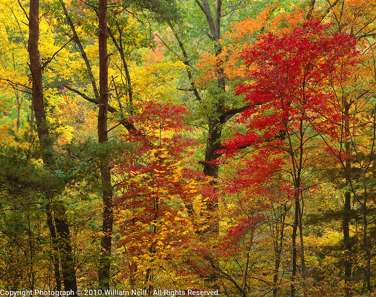 Red Maples and forest, autumn, Great Smoky Mountain National Park, Tennessee