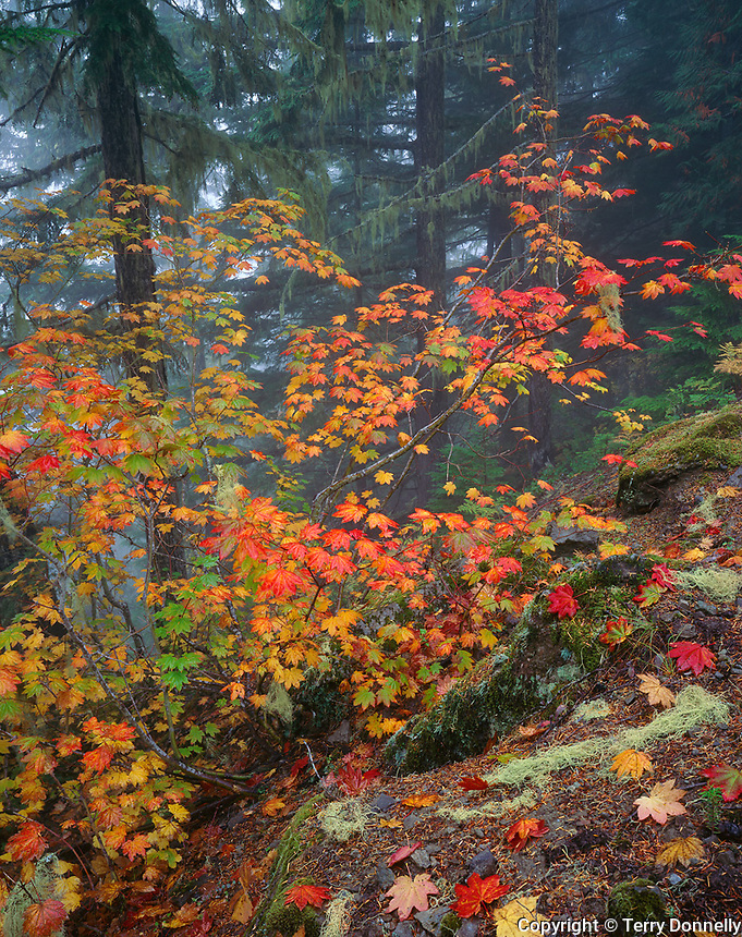 Mount Rainier National Park, WA:  Fall colors on a Vine Maple (Acer circinatum) at hillside edge of a spruce/hemlock forest