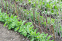 'Petit Pois' pea seedlings growing alongside of a row of pea sticks, mid May.