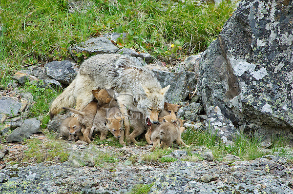 Wild Coyote (Canis latrans) mom feeding--nursing & regurgitating--pups.  Western U.S., June.