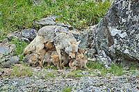 Wild Coyote (Canis latrans) mom feeding--nursing & regurgitating--pups.  Western U.S., June.