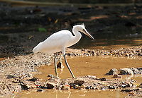 Stock image: Beautiful white egret walking through muddy pond.<br />