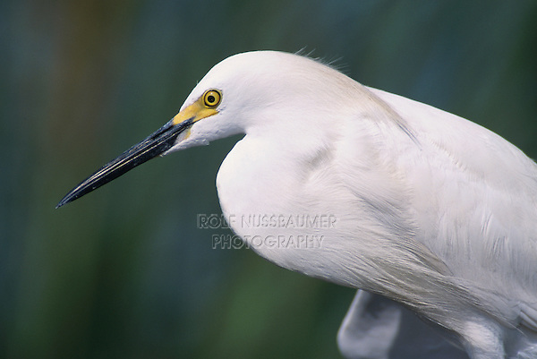 Snowy Egret, Egretta thula,adult, Lake Corpus Christi, Texas, USA, May 2003