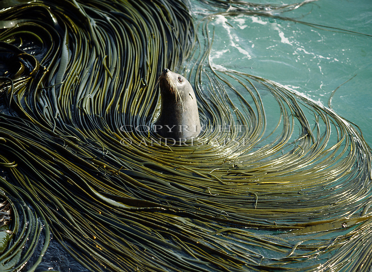 Fur Seal amongst kelp at Taiaroa Head Otago Peninsula. Otago New Zealand.