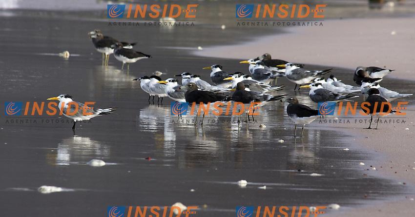 Socotra, gennaio 2006....Socotra e' l'isola più grande dello Yemen, rimasta per lungo tempo isolata dal continente ha sviluppato una fauna ed una flora  straordinaria con specie endemiche particolarissime. L'arcipelago di Socotra e' stata dichiarata dall'UNESCO Riserva della Biosfera...Nella foto: Gabbiani sulla spiaggia di Dlesha...Socotra was declared by UNESCO a Biosphere reserve and it was so long isolated to the continent that has developed a lot kinds of particular animal and vegetable species...In the picture sea-gull in Dlesha beach...Photo Antonietta Baldassarre INSIDE