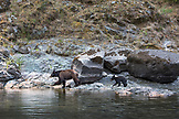 USA, Oregon, Wild and Scenic Rogue River in the Medford District, Black Bear and her cub on the bank in the Flora Dell area