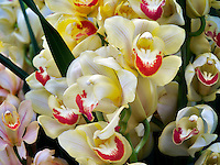 Close up of Cymbidium orchid. Oregon