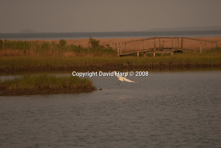 An egret takes flight on Port Isobel, an island just off Tangier Island, VA owned by the Chesapeake Bay Foundation