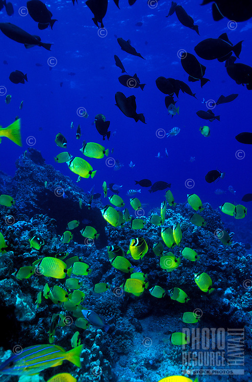 The  bright yellow Milletseed Butterflyfish ( Chaetodon miliaris) is a common sight on Hawaii's coral reefs. Hawaiian name is Wiliwili.