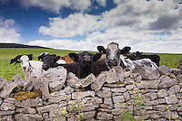 Mixed breeds of beef cattle looking over a stone wall, Whitewell, Lancashire.