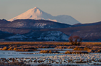 Mount Shasta with snow geese, white-fronted geese and ducks in wetland pond during late winter/early spring migration.  Lower Klamath National Wildlife Refuge, California-Oregon border.  Early morning.