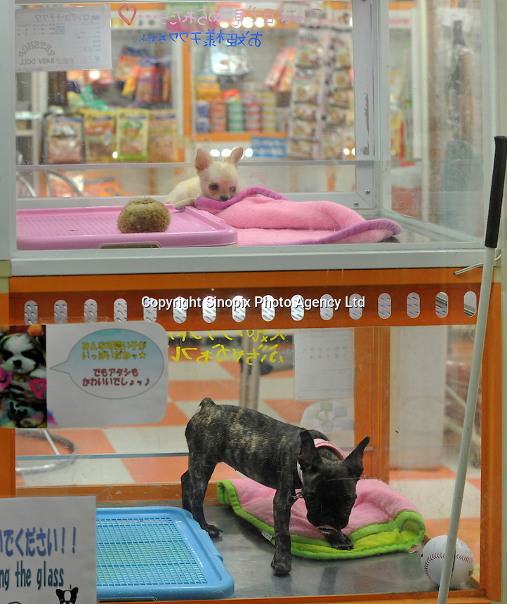 Tiny pets are sold in pet shops in Tokyo, Japan. Japan has 23 cats and dogs as pets and is overpoulated. The pets come from unregulated breeders and often end up getting dumped and gassed...photo by  / Sinopix............