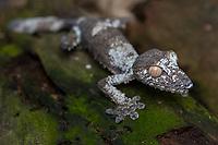 Africa; Madagascar, Analamazaotra special reserve in Andasibe-Mantadia National Park. Giant leaf tailed gecko.