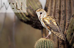 Common Barn Owl ,Tyto alba, on Saguaro Cactus. Saguaro National Monument, Arizona