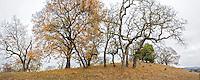 Panorama of Quercus kelloggii, California Black Oak trees in autumn on Pinheiro Fire Road, on ridge of Rush Creek Open Space, Marin County